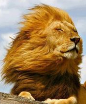lion in the breeze 3